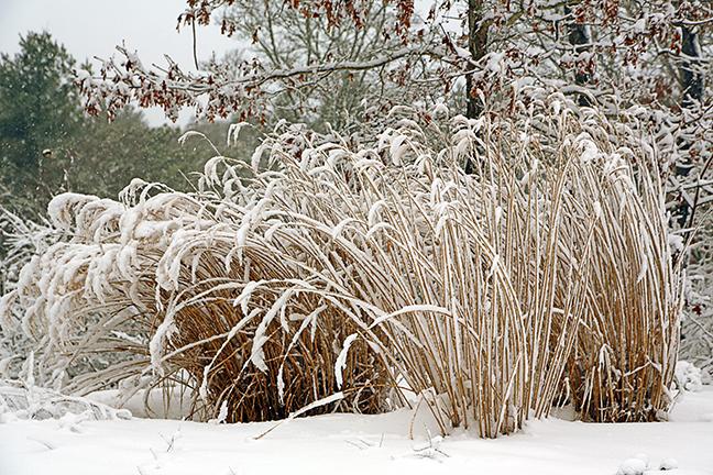 grasses_snow