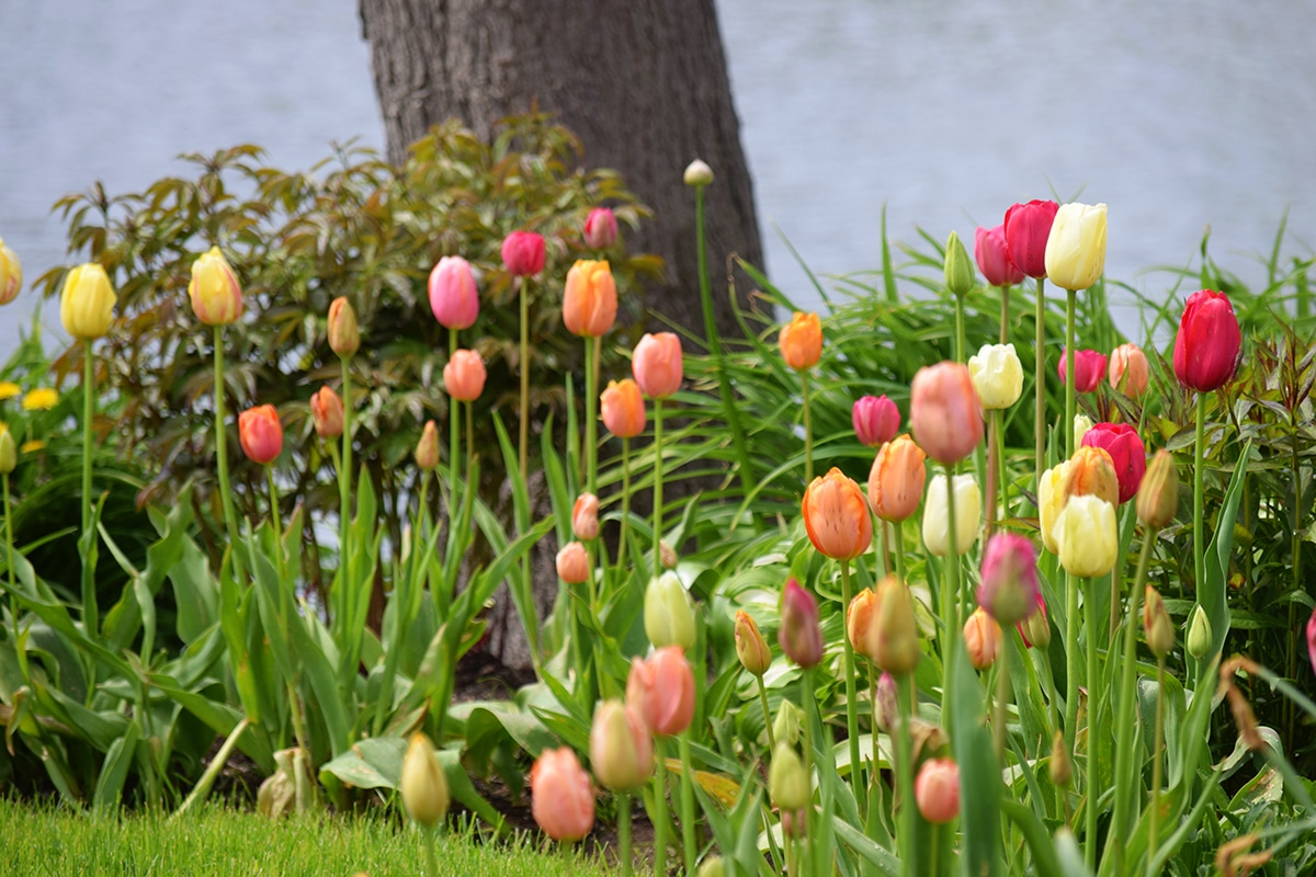 planning for spring: tulips