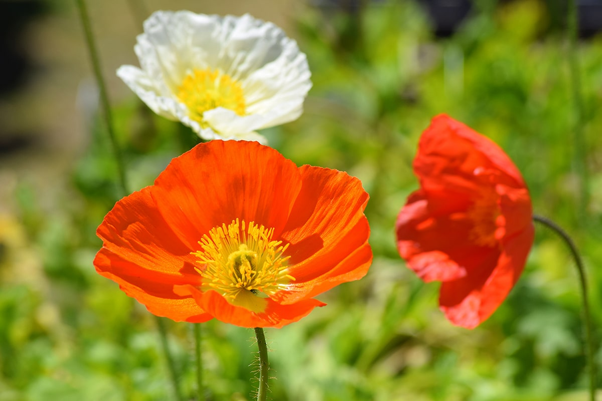 planning for spring: poppies